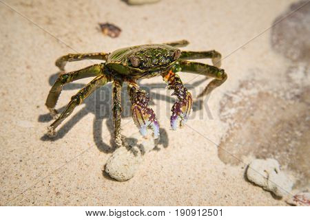 Mud crab in the natural beach of Northern Territory state of Australia.