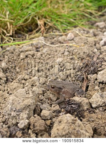 Small Brown European Toad Sits On Dry Earth