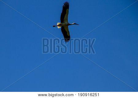 White Stork (Ciconia ciconia) in flight in sky