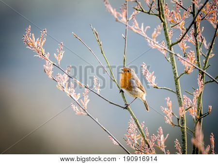European robin singing in an Amelanchier tree in early spring