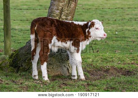 Young Cow Stood By A Tree In A Field, He Is Black And White