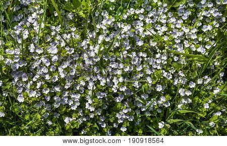 Forget-me-nots (Myosotis arvensis). Small azure flowers. Flower carpet. Selective focus.