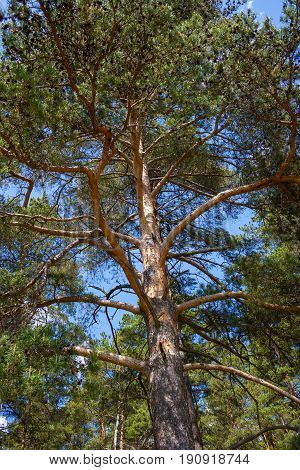 The old sprawling pine on the background of the blue sky