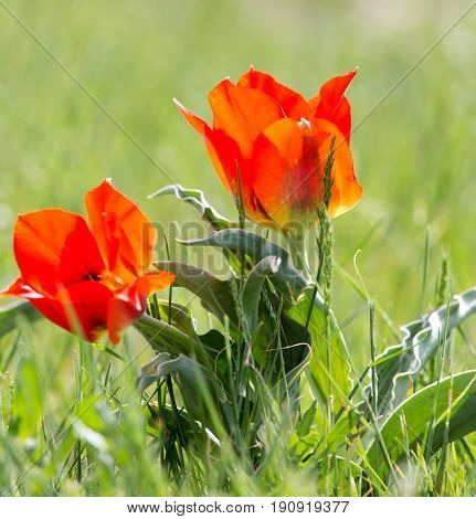 Wild red tulip in nature. A photo