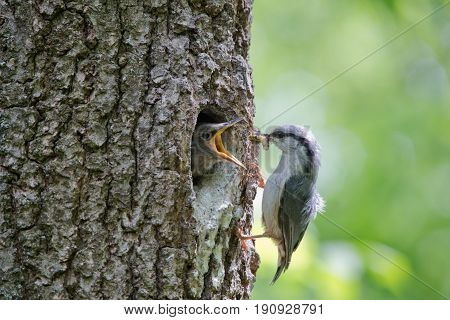 Bird Nuthatch feeds hungry nestling by caterpillar. Wild nature scene of spring forest life