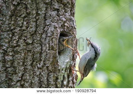 Nuthatch bring caterpillar for feeding hungry nestling. Wild nature scene of spring forest life