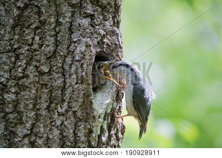 Bird feeds nestling from beak to beak. Nuthatch feeds nestling by caterpillar. Wild nature scene of spring forest life