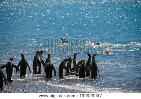 A small group of King Penguins on the Shores of Salisbury Plains, South Georgia is watching the seals swimming in the waters.