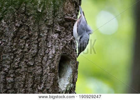 Nuthatch looks on his nest in hollow of the oak. Bird family at European spring forest