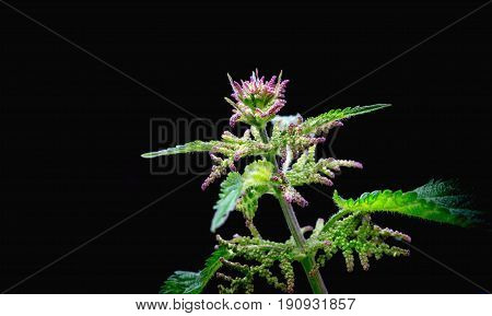 Blooming nettle with pink blossoms on a black background