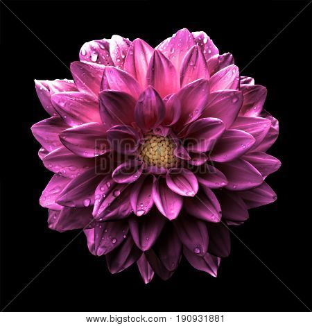 Surreal Dark Chrome Pink Flower Dahlia Macro Isolated On Black