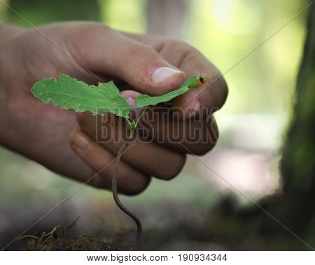 The hand shows the plant. On leaves of tick encephalitis. The danger of a bite in the nature