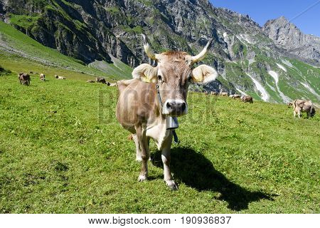 Brown Cows In The Alpine Meadow At Engelberg