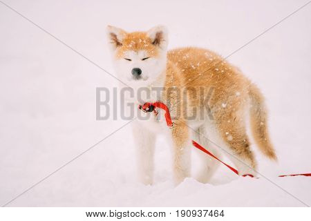 Beautiful Puppy Of Akita Dog Or Akita Inu, Japanese Akita Standing In Snow At Winter Day. The Akita Is A Large Breed Of Dog Originating From The Mountainous Northern Regions Of Japan.