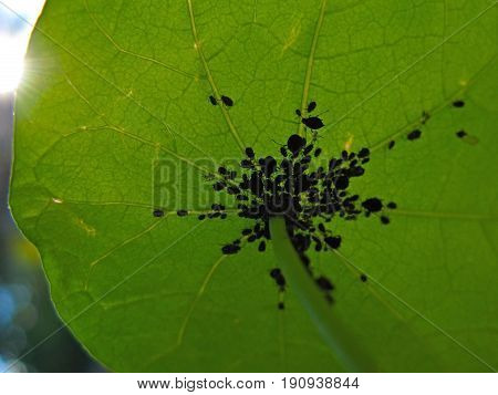Aphids grouping on a garden plant in sunlight