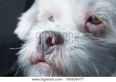 Close On A White Lhasa Apso Dog Snout