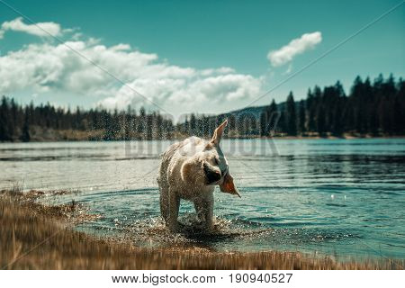 Dog taking a bath and shaking off water in front of beautiful mountain lake