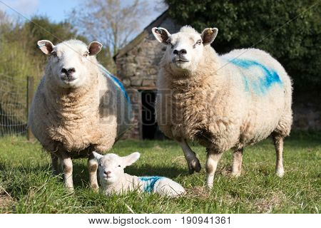 Two Ewe Sheep Stand Guard Over A Lamb