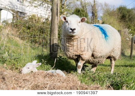 Mother Sheep Protects Her Young Lamb Outside