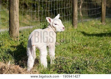 Young Lamb Stood Up Outside In A Farmers Field