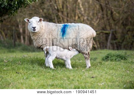 Lamb Suckling Off Its Mother In A Field
