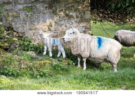 Lamb And Its Mother On A British Farm Outside