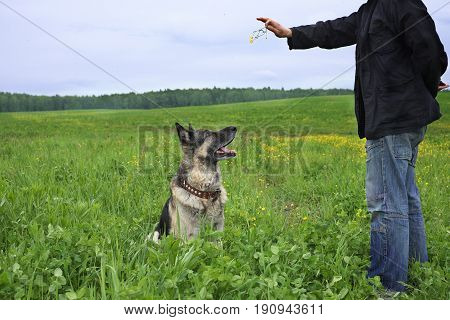 A dog teacher training a shepherd dog for obedience field landscape in the background