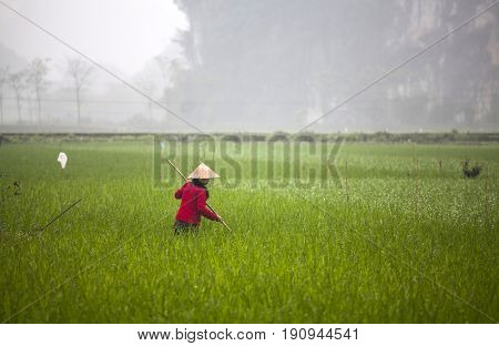Tam Coc, Ninh Binh, Vietnam - March 16, 2017: Vietnamese farmer works at rice field at foggy morning. Ninh Binh, Vietnam travel landscapes and destinations. Organic agriculture at southeast asia