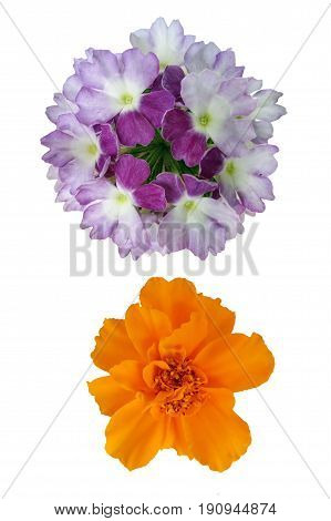 Verbena and marigold. The objects of the fresh flowers in white isolated.