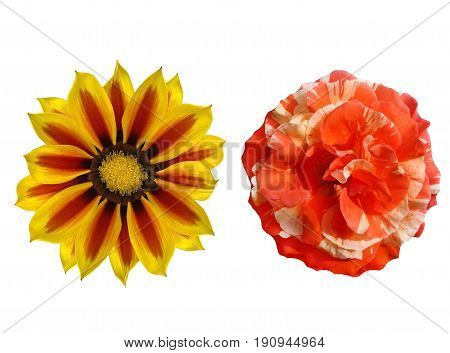 Rose and ganzania.  Two flowers white isolated.