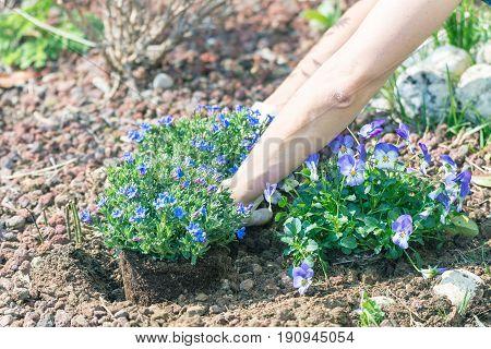 Springtime Home Gardening, Planting Flowers In Soil