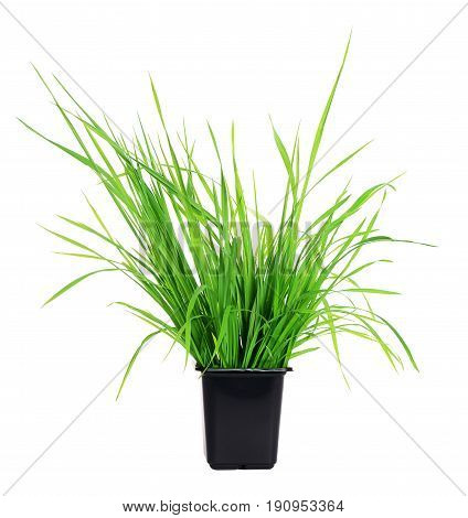 Grass In Pot Isolated On White
