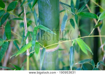 Bamboo is growing up in our backyard