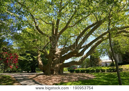 Big tree at a courtyard in Newport, RI