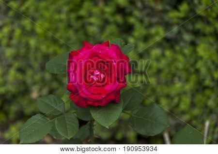 Twig of beauty fragrant velvety red rose, Vidin, Bulgaria