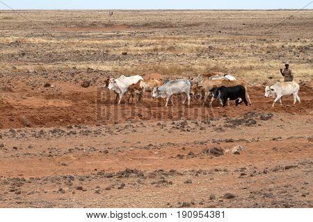 Cows and cattle breeders in the north of Kenya