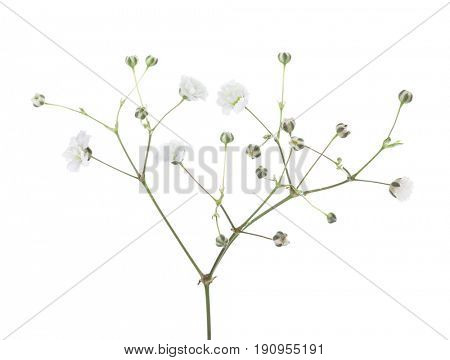 Twig with flowers of Gypsophila isolated on white background.