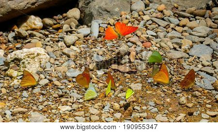 Colorful Butterfly is light Oranges Green Yellow White Brown. Two Wings flying and sitting postures on the stone at waterfall in sunshine day
