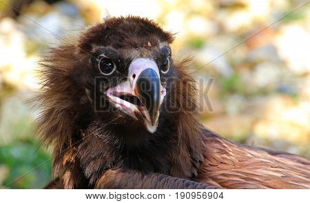 This Vulture was just enjoying a nice carcass