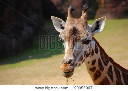 This giraffe poses for the camere while eating