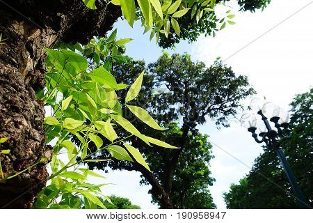 Mahogany teree leaf green forest summer outdoor