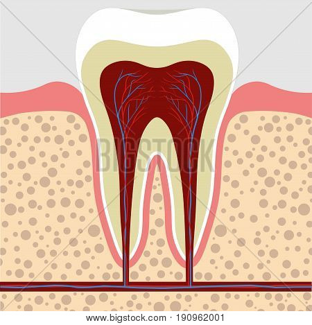 Human tooth gum in a cross section. Tooth Root canal. Tooth Detailed anatomy. Vector tooth color image stomatology flat style tooth concept for design Dental illustration tooth art picture