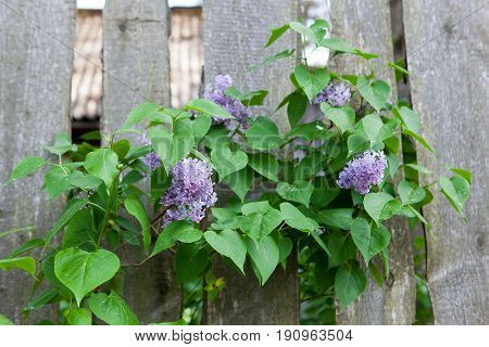Lilac Grows Through A Wooden Fence