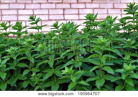 Verbainik ordinary.Plant of garden of the herbaceous perennial.(Lysimachia vulgaris)