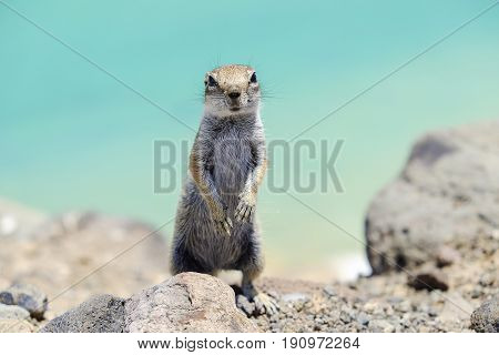 Cute chipmunk on the background of sea water on the Canary island of Fuerteventura in Spain.
