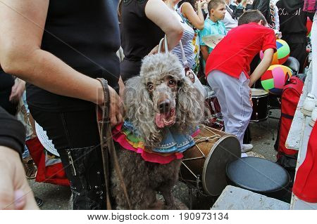 Volgograd Russia - August 26 2014: Poodle dog in the parade of circus performers