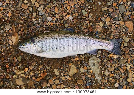 Freshly caught trout fish on the ground