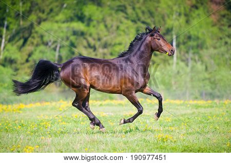 Black horse runs gallop in summer time on green grass