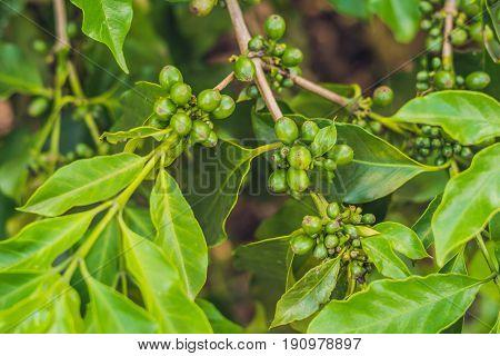 Unripe Coffee Beans On Stem In Vietnam Plantation