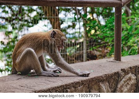 Grey monkey sitting on stone slabs at the entrance to the Batu Caves, Malaysia.